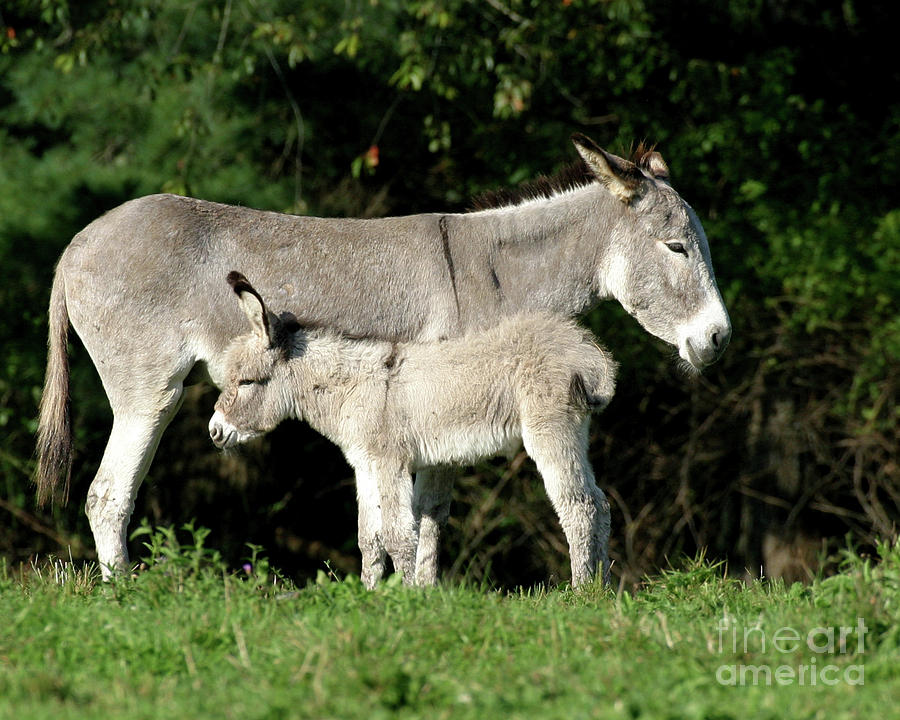 Donkey Photograph - Mama Donkey And Baby by Deborah  Smith