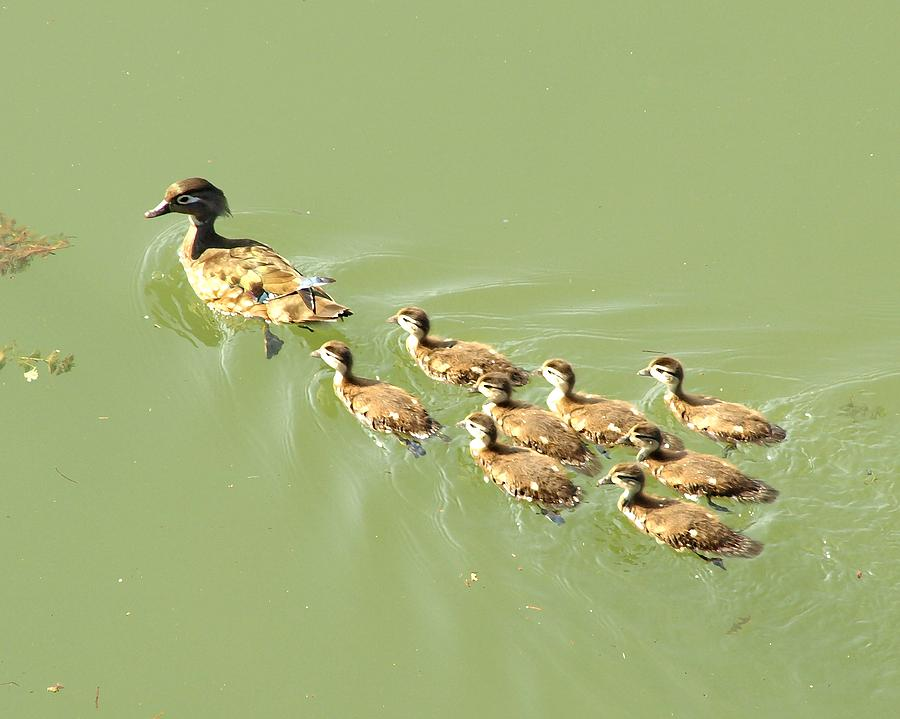 Duck Digital Art - Mama Duck And Ducklings by James Granberry