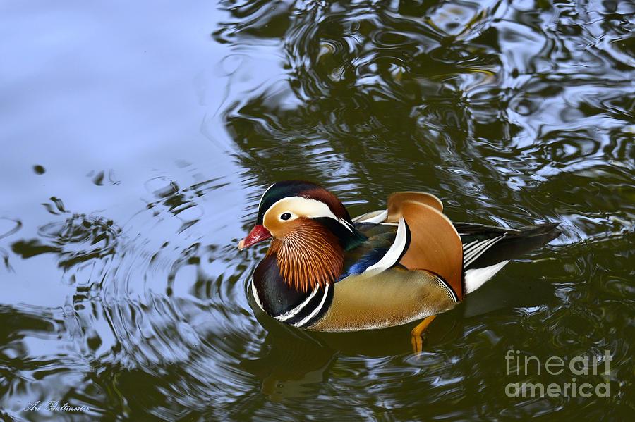 Mandarin Duck Photograph - Mandarin Duck 04 by Arik Baltinester