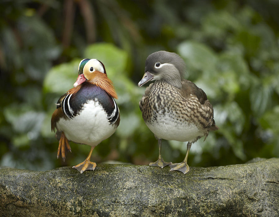Mandarin Duck Male And Female Jurong Photograph by Tim Fitzharris