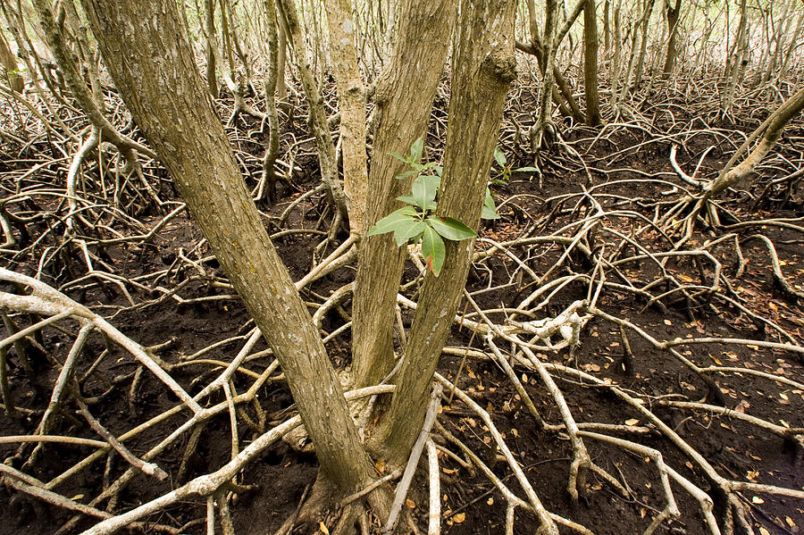 Nobody Photograph - Mangrove Forest With Red Mangrove by Tim Laman
