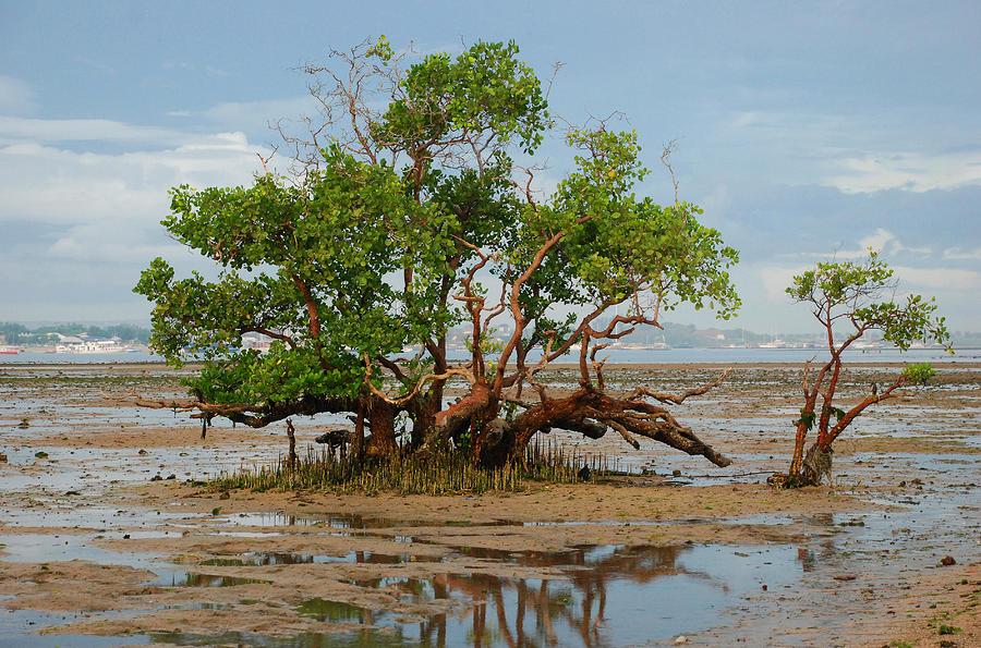 Mangrove Tree Photograph