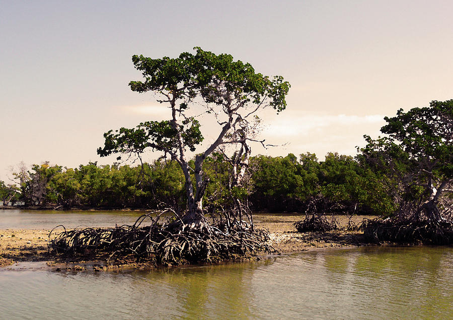 Everglades Photograph - Mangroves In The Everglades by HD Hasselbarth
