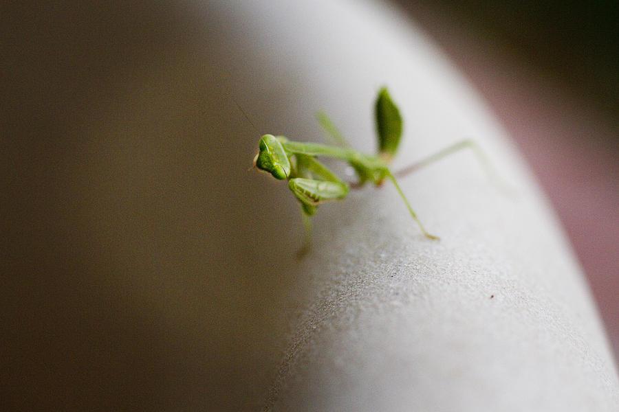 Praying Mantis Photograph - Mantis 1 by Jessica Velasco