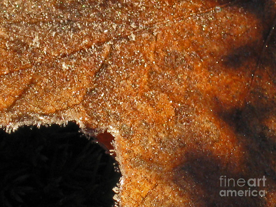 Frost Photograph - Maple Leaf Frosted by Ellen Miffitt