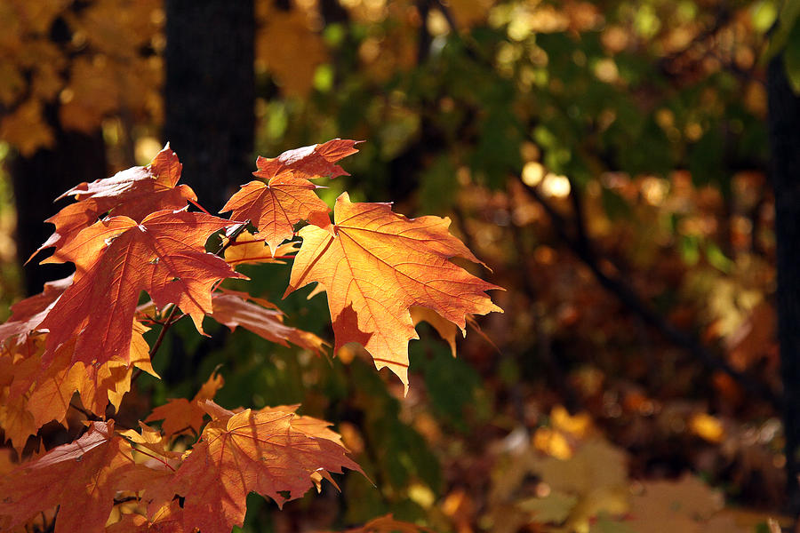 Fall Photograph - Maple Leaf Glow by James Hammen