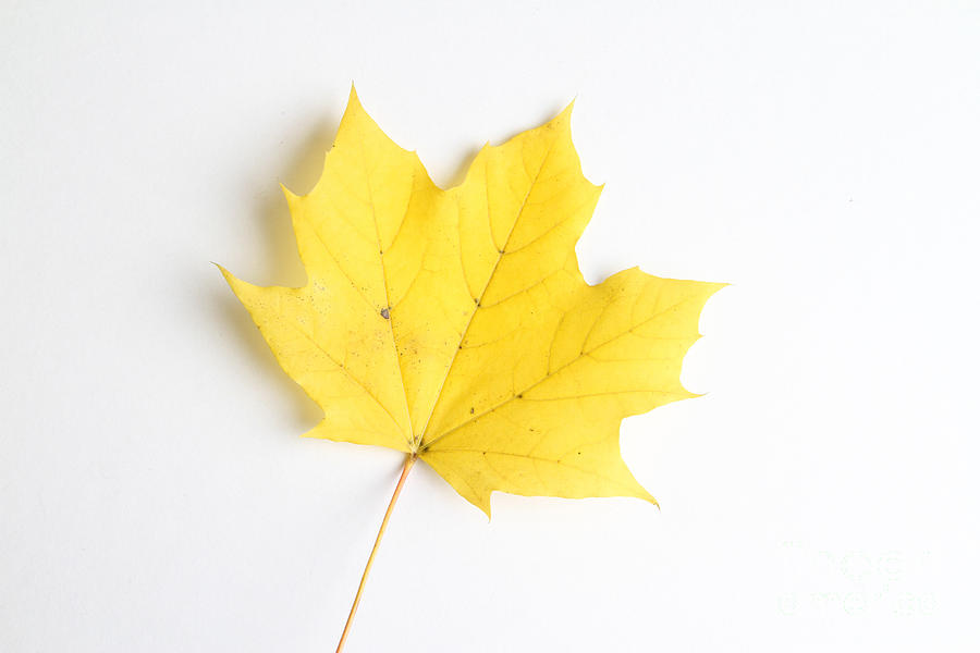 Still Life Photograph - Maple Leaf by Photo Researchers
