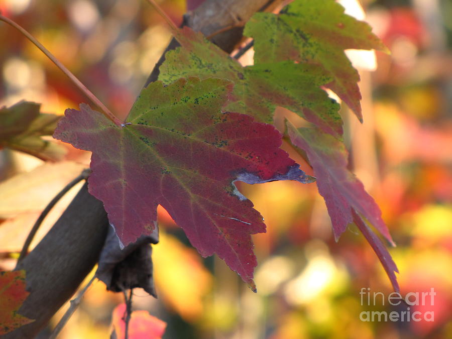 Fall Photograph - Maple Leaf by Richard Nickson