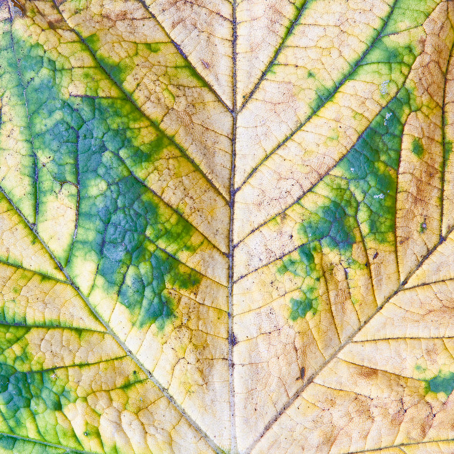 Abstract Photograph - Maple Leaf by Tom Gowanlock