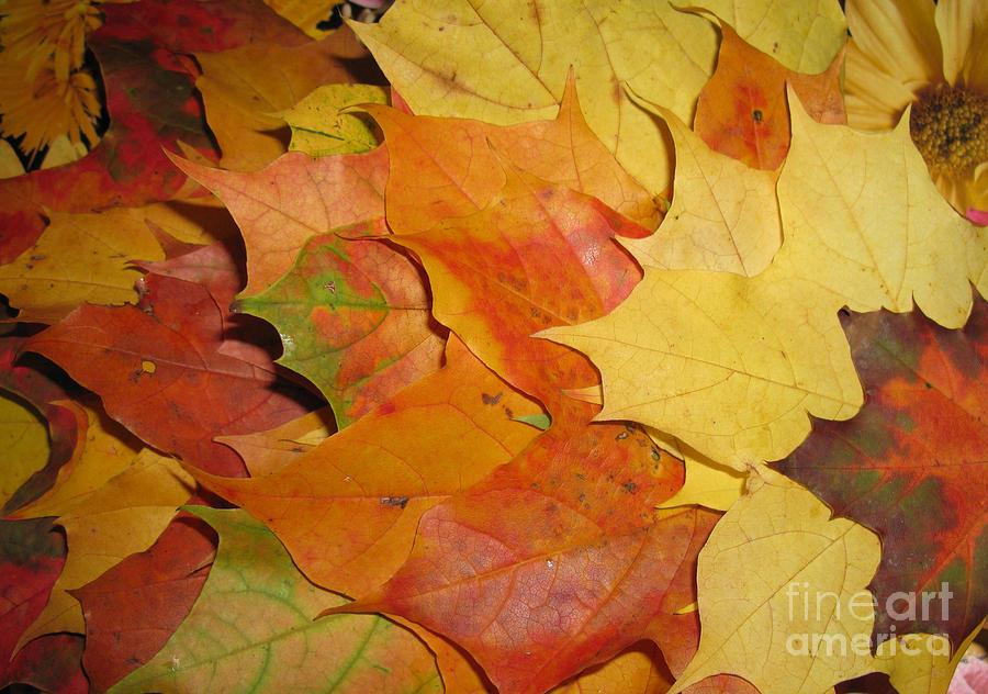 Fall Photograph - Maple Rainbow by Ausra Huntington nee Paulauskaite