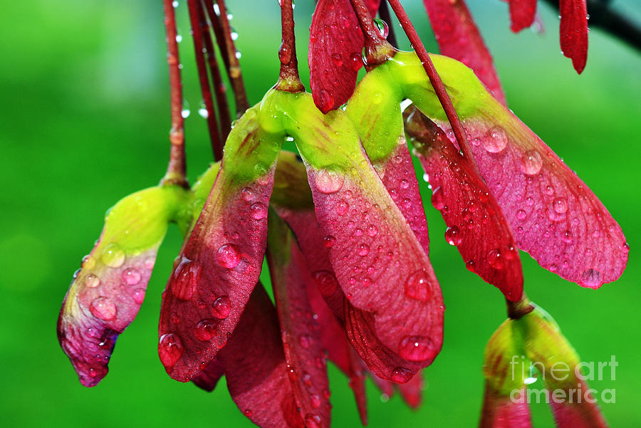 Sugar Maple Photograph - Maple Seeds In The Rain by Thomas R Fletcher