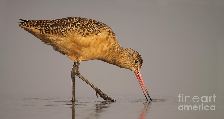 Natural Photograph - Marble Godwit Feeding by Max Allen