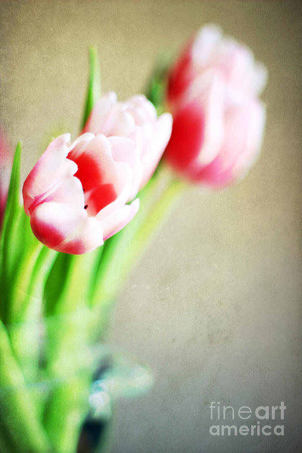 Aged Photograph - March Tulips by Darren Fisher