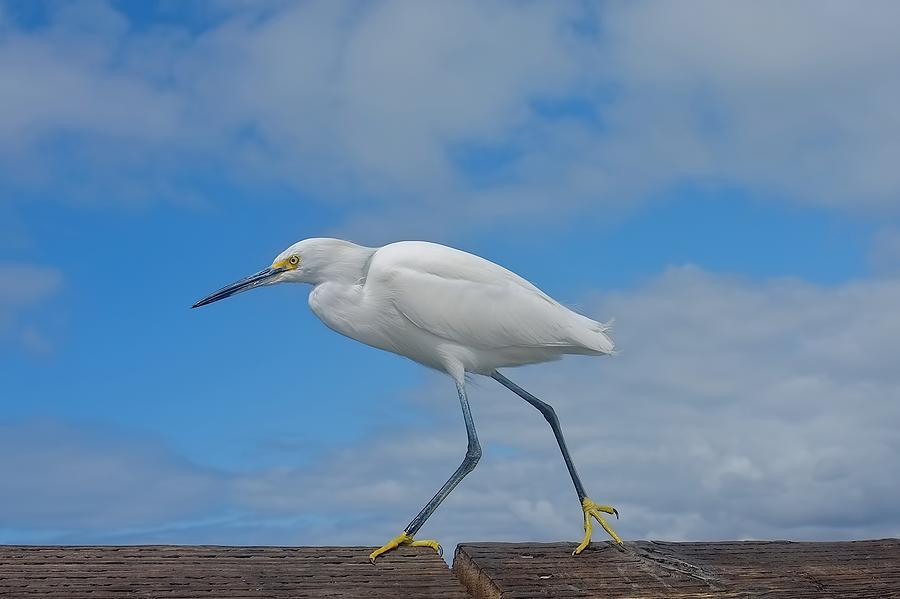 Egret Photograph - Marching Egret by Kris Docken
