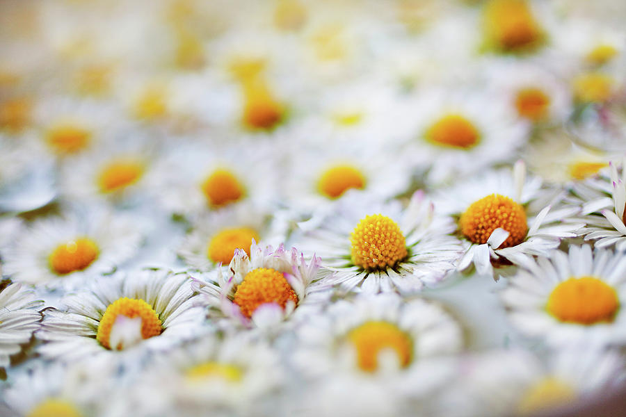Horizontal Photograph - Marguerite Flowers by Uccia_photography