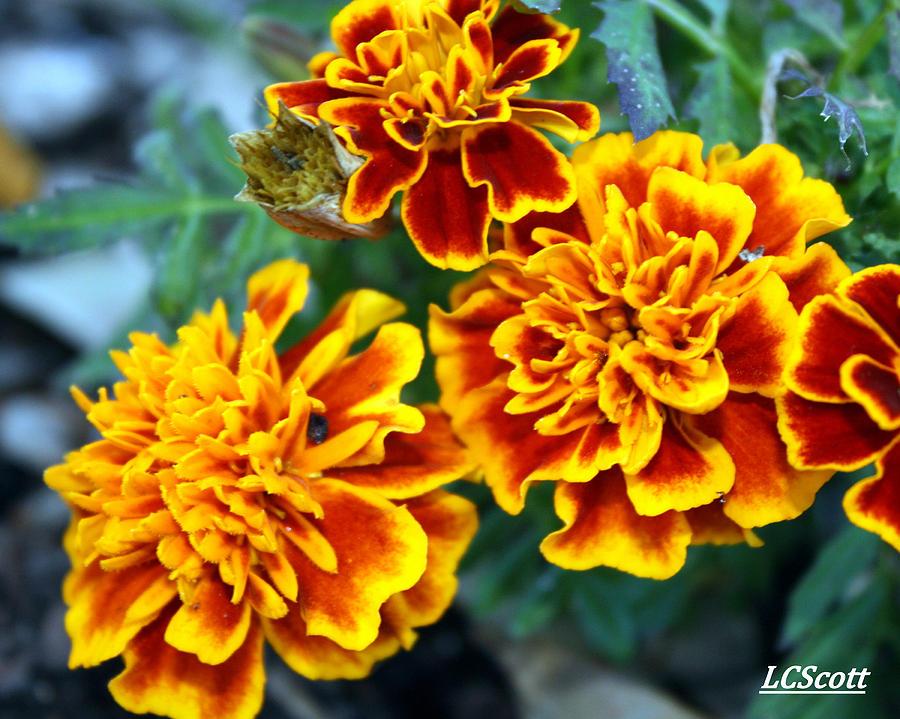 Marigolds Photograph - Marie by LC  Linda Scott