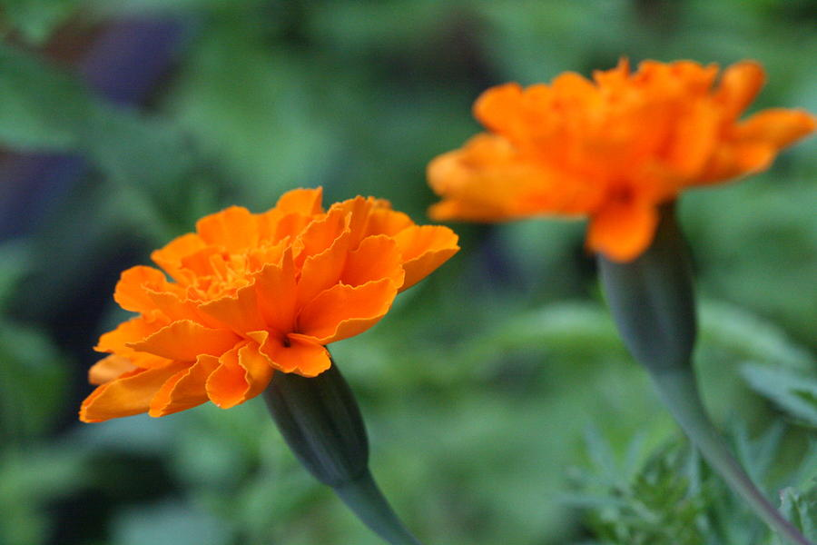 Marigold Photograph - Marigold Duo by Bonnie Boden