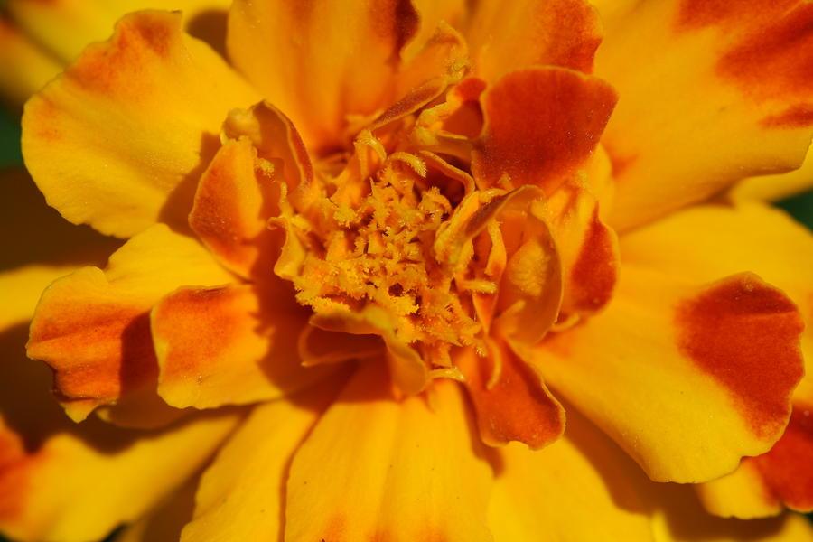 Marigold Photograph - Marigold Flower by Bonnie Boden