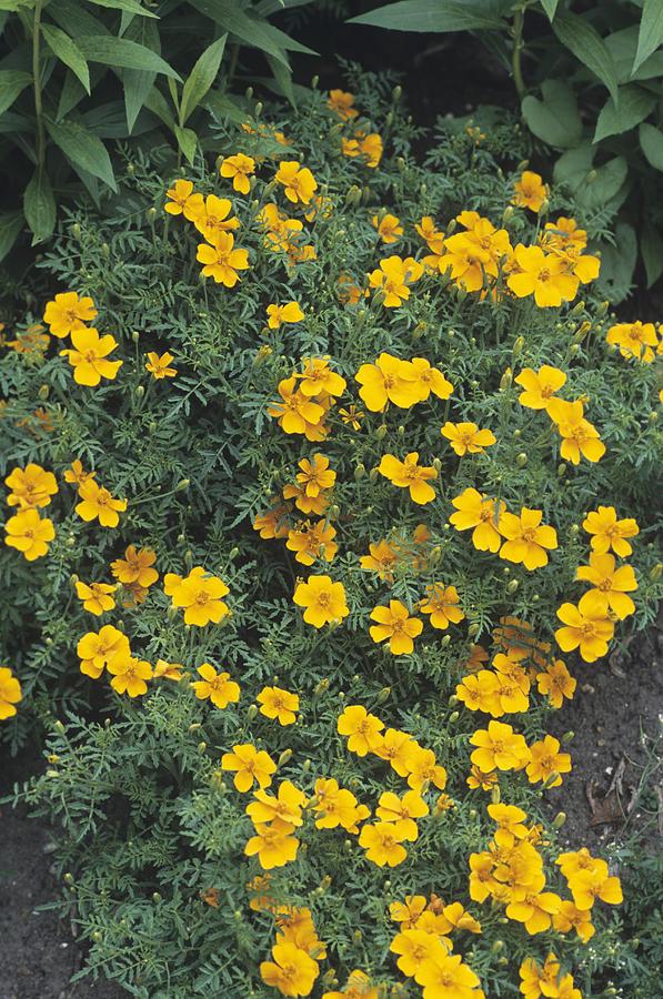 Marigold Photograph - Marigolds (tagetes tangerine Gem) by Adrian Thomas