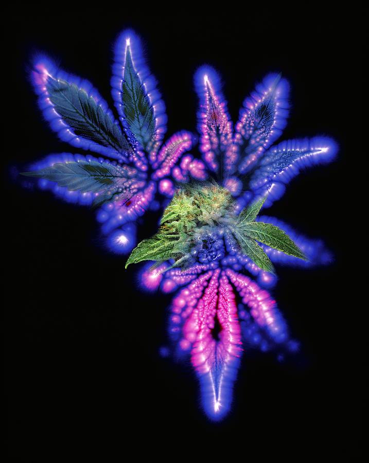 Marijuana Photograph - Marijuana Leaf And Bud, Kirlian Artwork by Boothgarion