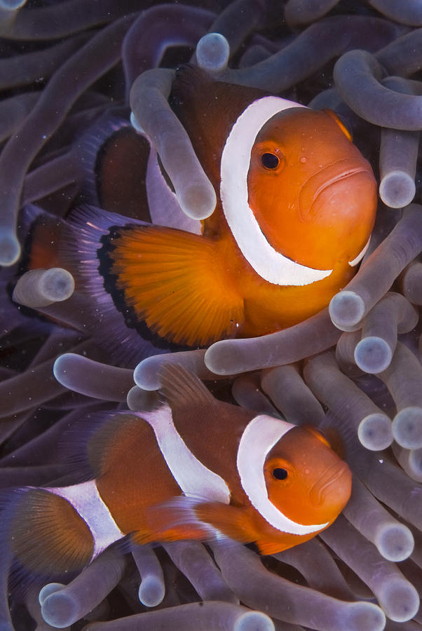 Vertical Photograph - Maroon Clown Fish (premnas Biaculeatus) Amongst Sea Anemone Tentacles, Dumaguete, Negros Island, Philippines by Oxford Scientific