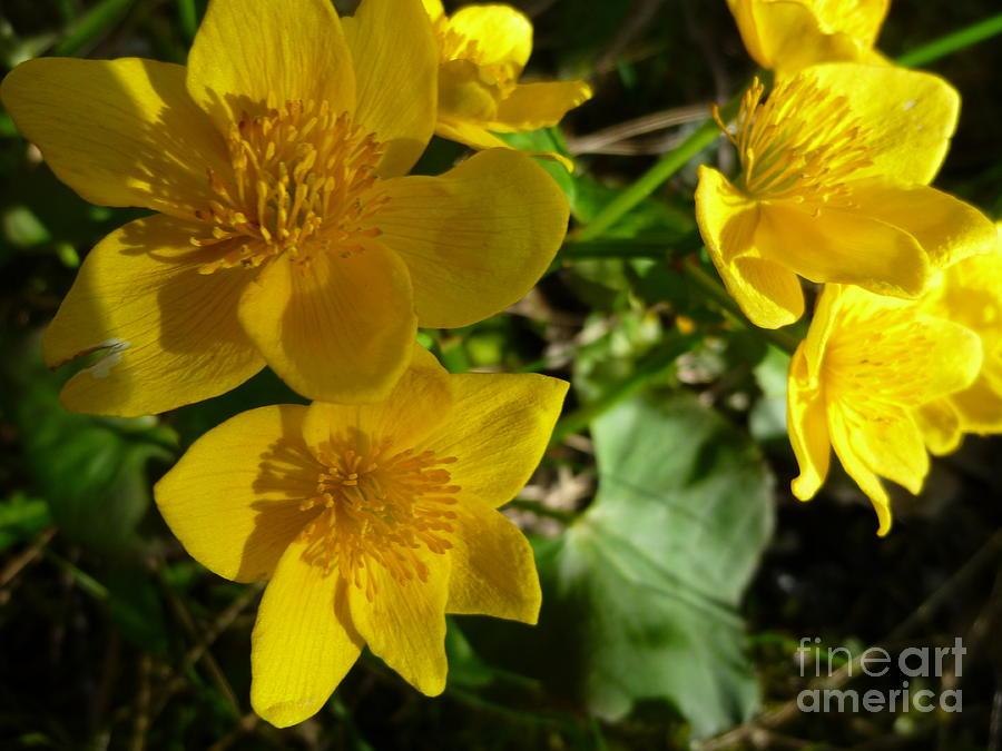 Marsh Marigolds Photograph by Art Studio