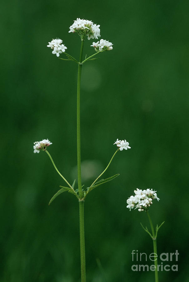 Plant Photograph - Marsh Valerian Flowers (valerian Dioica) by Bob Gibbons