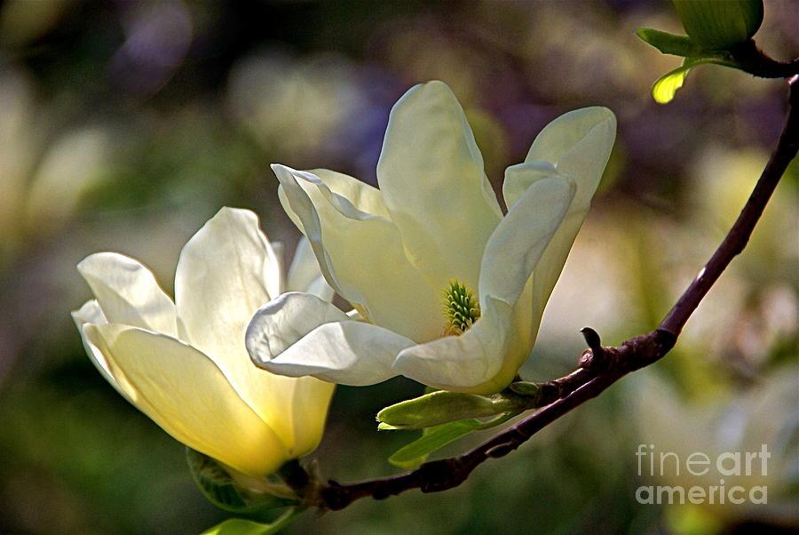 Trees Photograph - Marvelous Magnolia by Byron Varvarigos