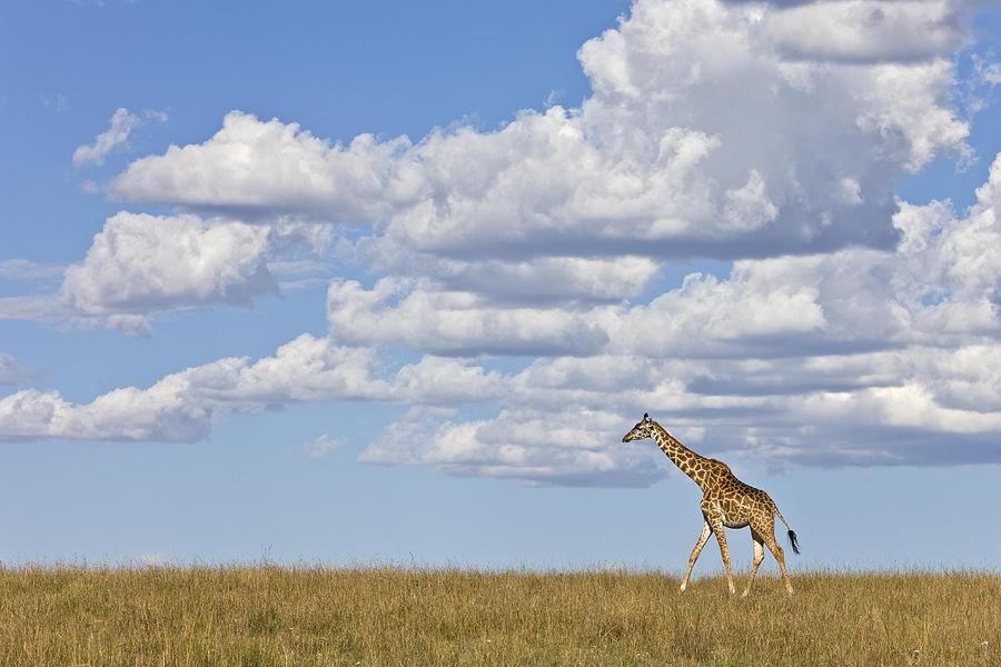 Masai Giraffe on the Savanna Photograph by Ingo Arndt