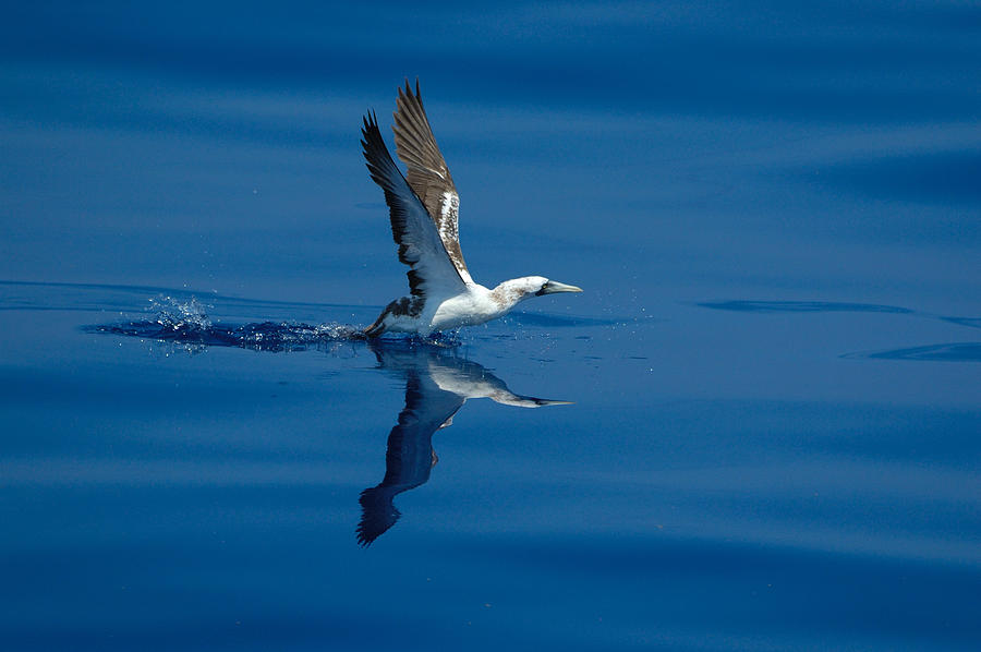Masked Booby Photograph - Masked Booby by Bradford Martin
