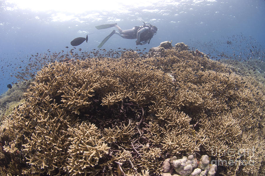 Acroporidae Photograph - Masses Of Staghorn Coral, Papua New by Steve Jones