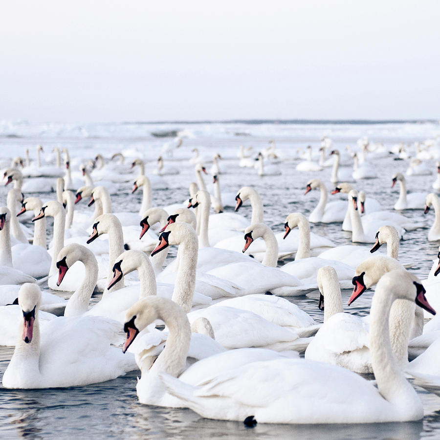 Square Photograph - Massive Amount Of Swans In Winter by Mait Juriado photo