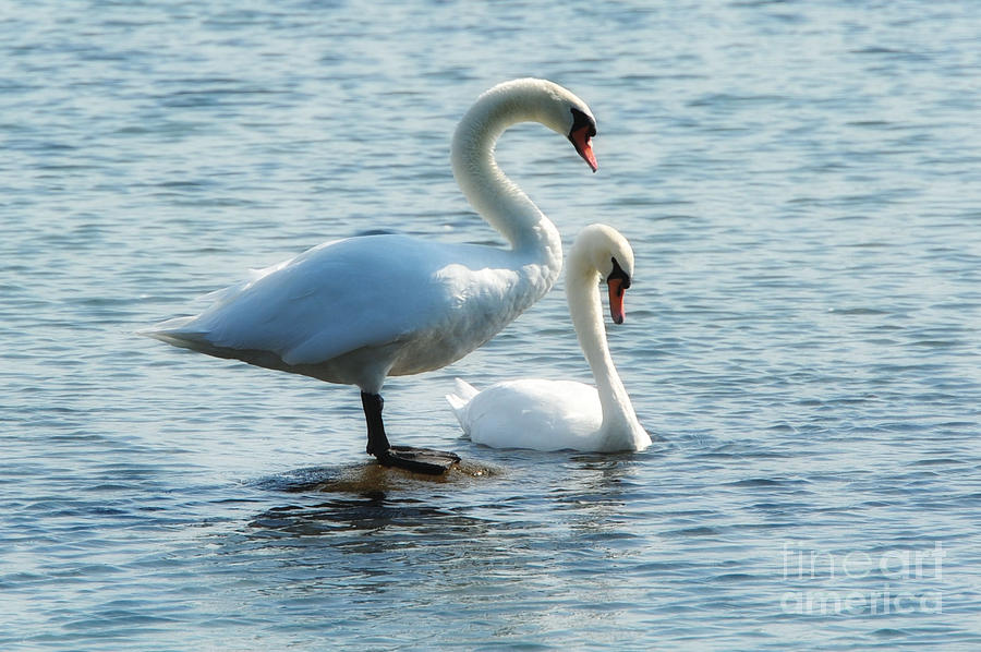 Swan Photograph - Mating Pair by Andrea Kollo