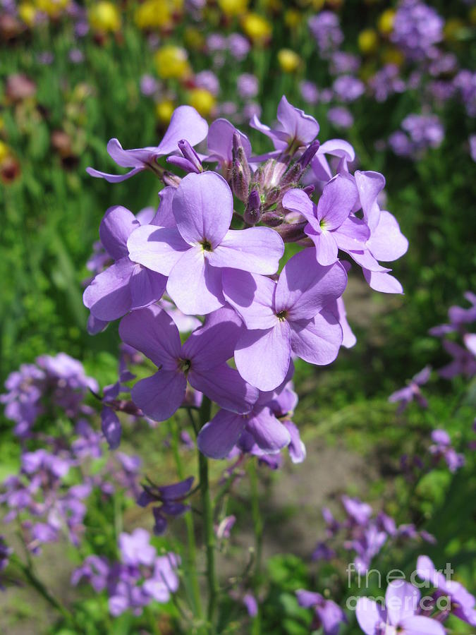 Matthiola Bicornis Night Scented Stock 2 Photograph By