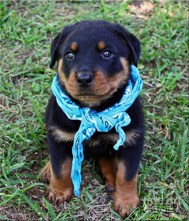 Rottweiler Photograph - Maxx by Rebecca Morgan