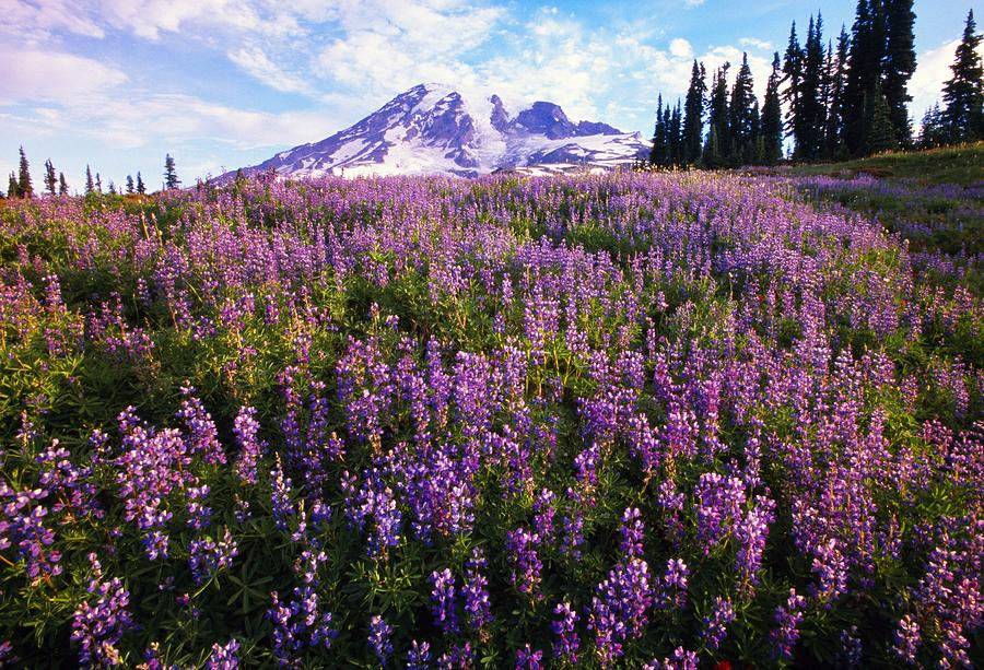 Meadow Of Purple Flowers Blooming Photograph by Natural ...