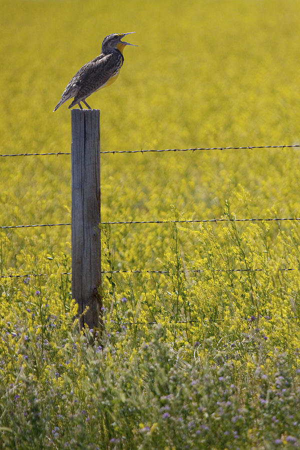 Nature Photograph - Meadowlark Singing by Randall Nyhof