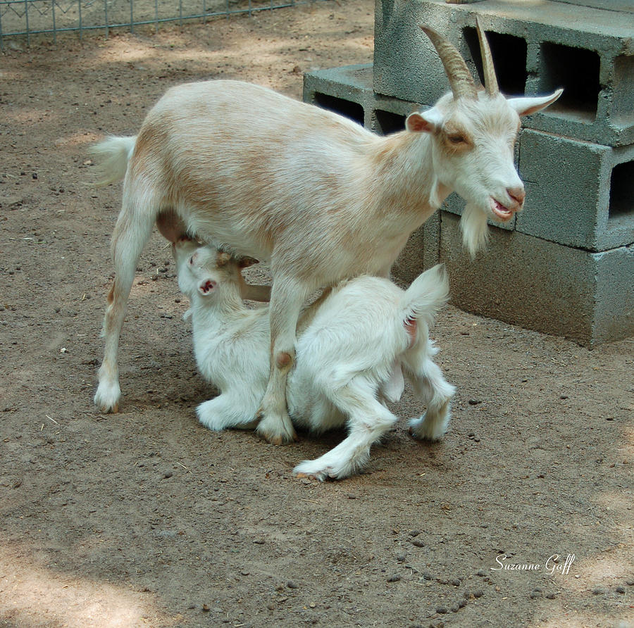 Goat Photograph - Mealtime by Suzanne Gaff
