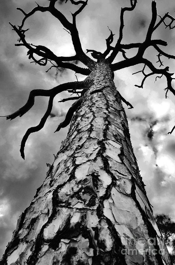 Pine Tree Photograph - Medusa Pine by Lynda Dawson-Youngclaus