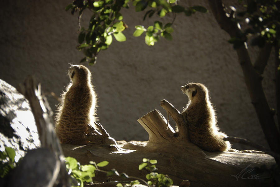 Meerkat Family Photograph Photograph - Meerkat by Anthony Citro