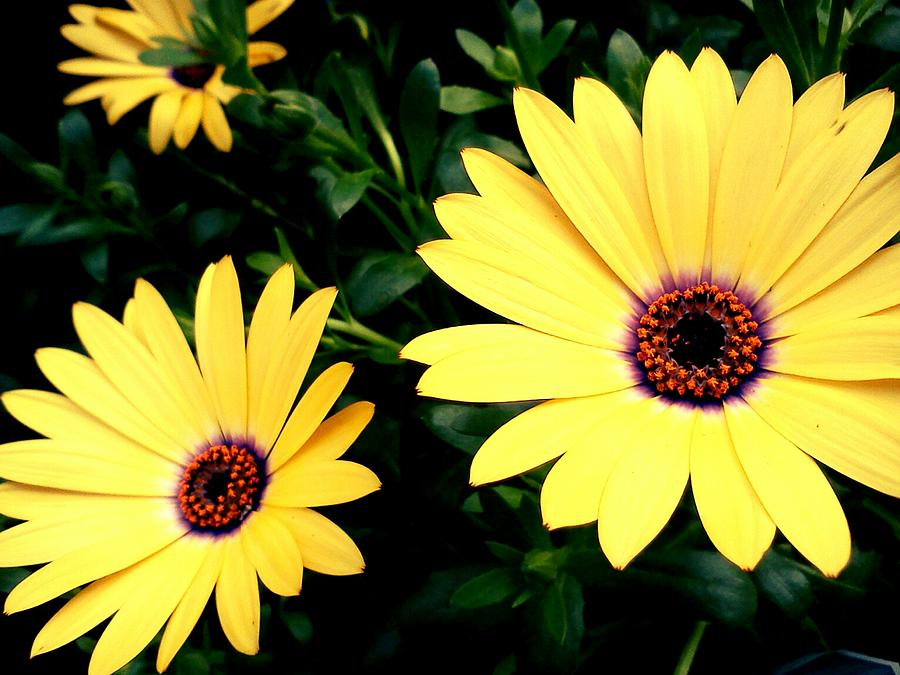 Floral Photograph - Mellow Yellow by Kevin D Davis