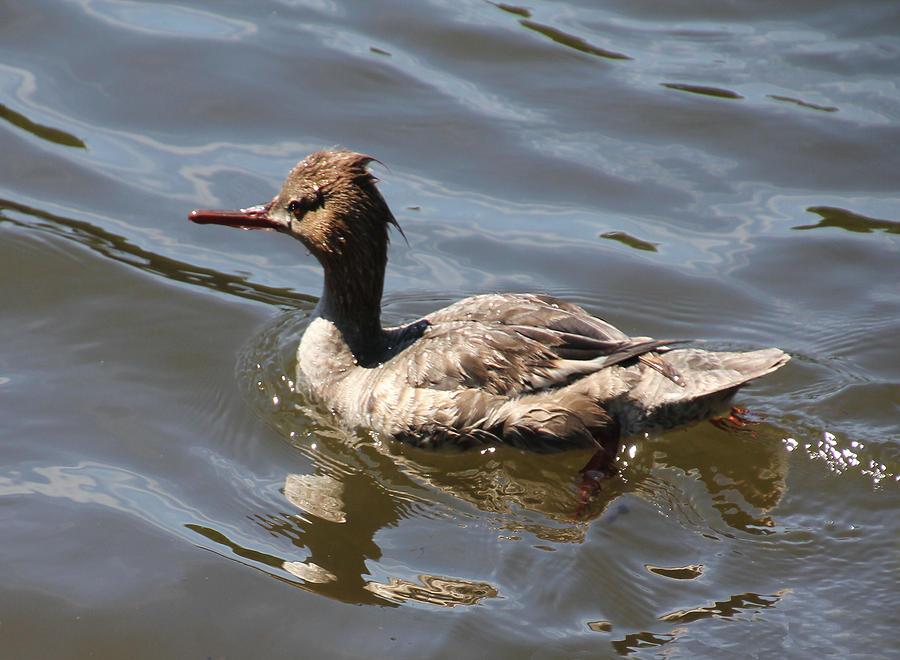 Duck Photograph - Merganser Duck by Rosalie Scanlon