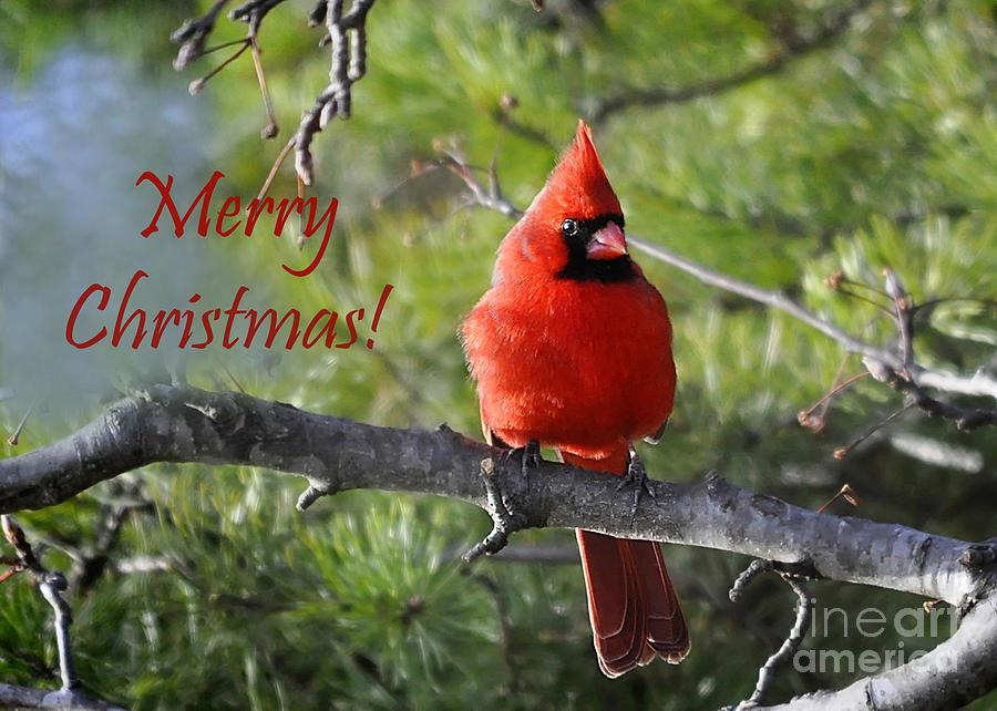 Christmas Cardinals Images.Merry Christmas Cardinal