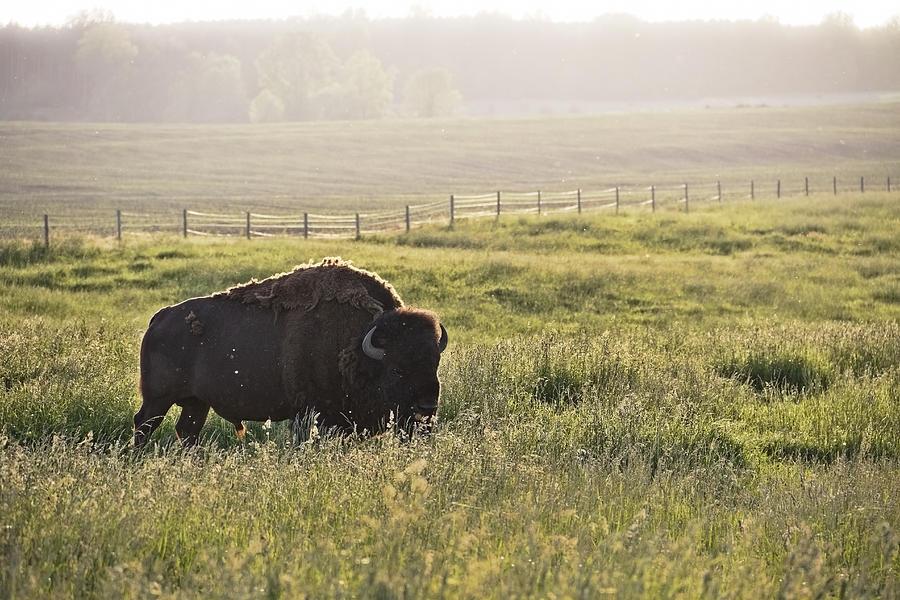 Bison Photograph - Michigan Buffalo by Joe Gee