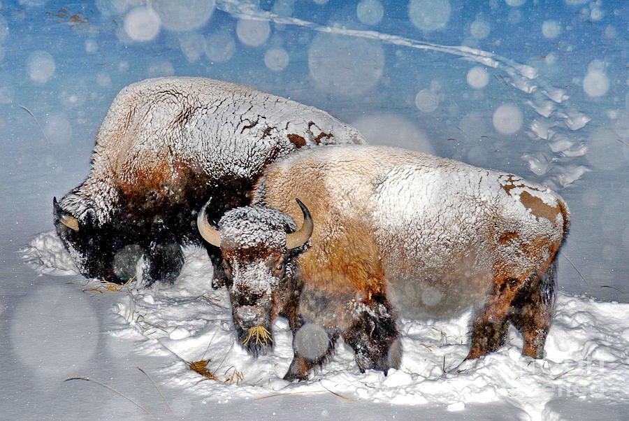 Životinje i sneg  - Page 5 Mid-winter-snowy-bison-richard-brady