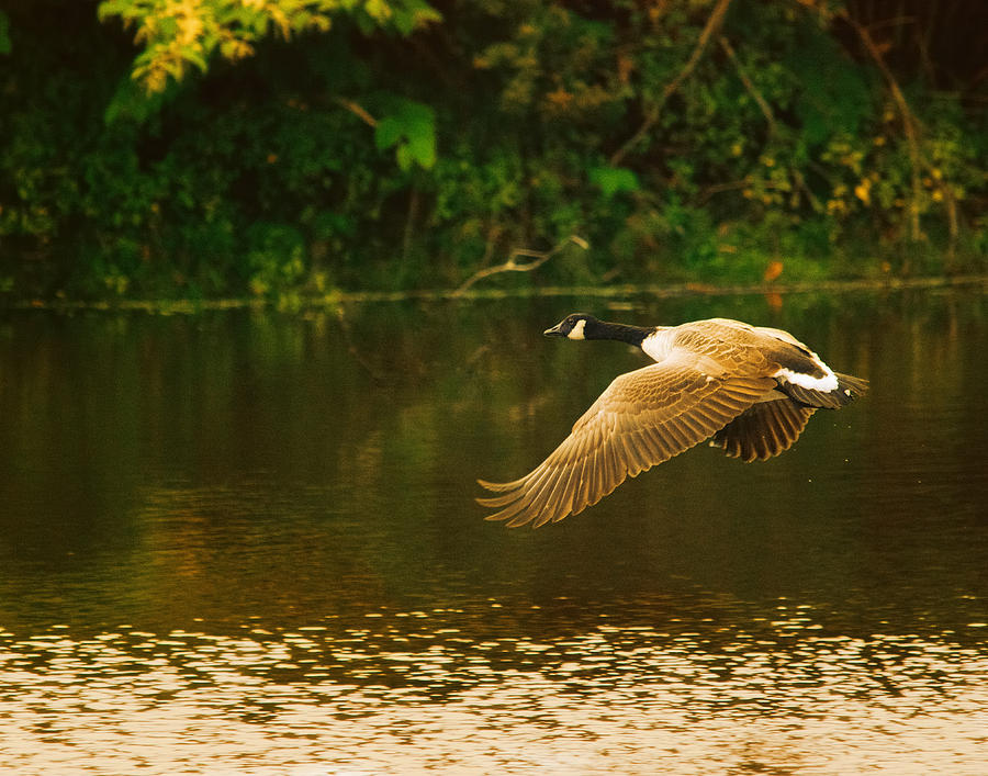 Goose Photograph - Midmorning Launch by Susan Capuano