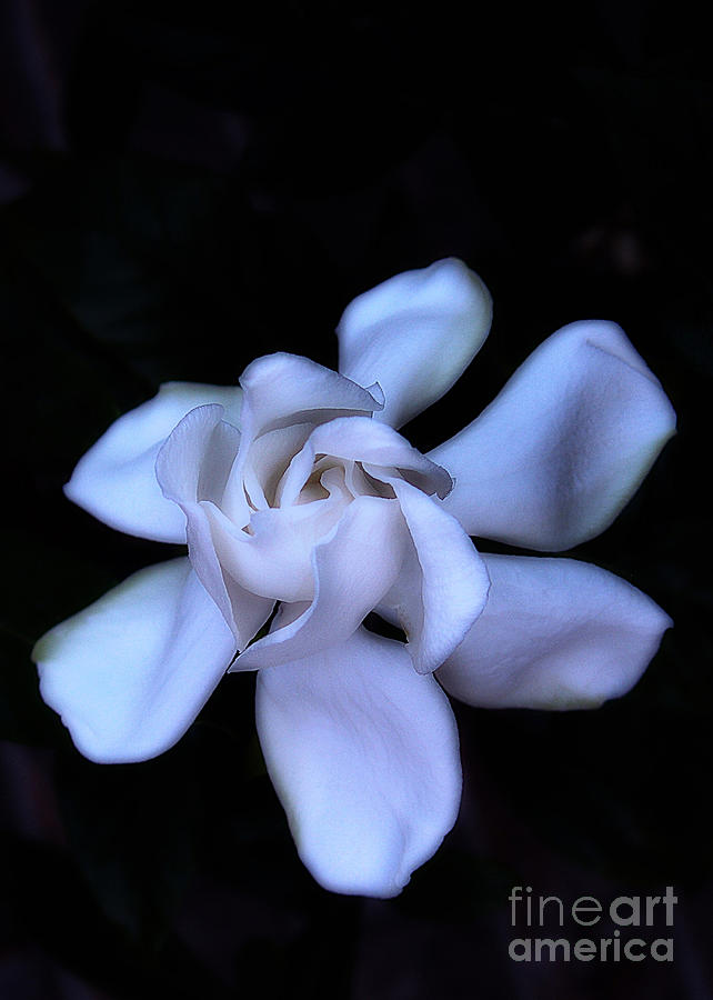 Gardenia Photograph - Midnight Gardenia by Judi Bagwell