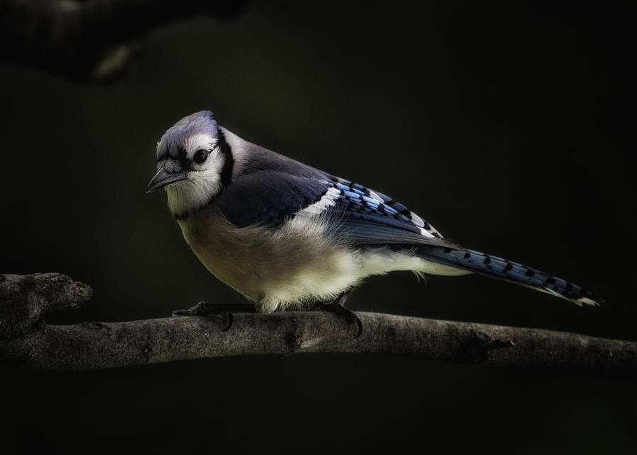 Blue Jay Photograph - Midnight Light Blue Jay by Bill Tiepelman