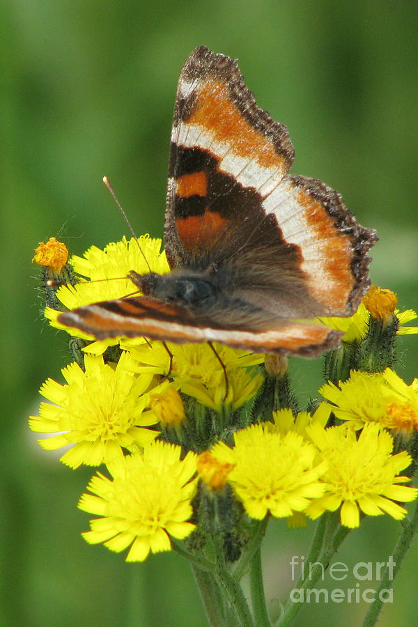 Butterfly Photograph - Milberts Tortoiseshell by Frank Townsley