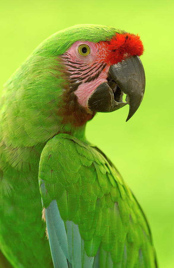 Mp Photograph - Military Macaw Ara Militaris Portrait by Pete Oxford